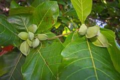 Frukt av ett tropiskt träd Royaltyfri Bild