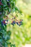 Frukt av murgrönavinrankan Royaltyfri Foto
