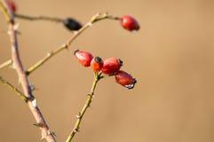 Frukt av rosen Royaltyfria Foton