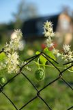Frukt av spruta eller explosionsgurkan i ramen av trådfe Arkivbild