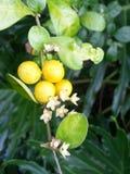Frukt av vinrankan Arkivfoto