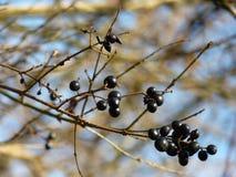 Frukt för Buckthorn för Frangula alnusal Royaltyfria Foton