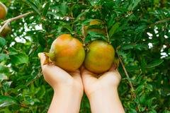 Frukt för flickakontrollgranatäpple för mognad i trädgård royaltyfria bilder