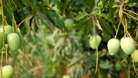 Frukt för mango för dockaglidbana omogen ny grön i naturstället stock video