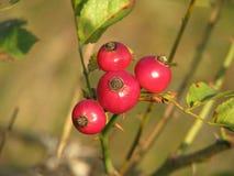 Frukt för nypon fyra arkivbild