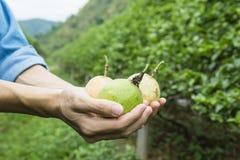 Frukt för passion tre i hand Fotografering för Bildbyråer