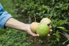 Frukt för passion tre i hand Arkivbild
