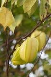 Frukt för stjärnaäpple eller ny thailändsk fruktodling för Carambola Royaltyfri Fotografi