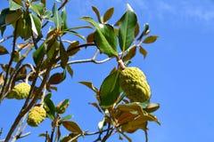 Frukt för vaniljsåsäpple på ett Annonareticulatahalv-evergreen träd arkivfoton