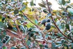 Frukt Feijoa är mogen och hänger på en Bush royaltyfri foto