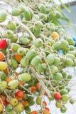 frukt gömma i handflatan red Royaltyfria Foton