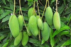 Frukt - grön mango Royaltyfria Foton