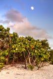 Frukt hänger av en seagrapeträdCoccoloba uvifera royaltyfria foton
