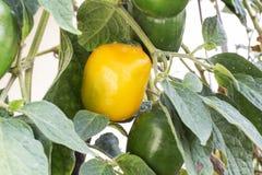 Frukt Jocote (röda Mombin, purpurfärgade Mombin, gödsvinplommonet, Sineguela, Siriguela) royaltyfri foto