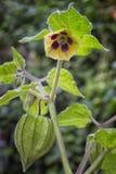 Frukt och blomma av physalisen & x28; Physalisperuviana& x29; också kallad Ca royaltyfri fotografi
