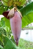 Frukt och Inflorescence av bananen Arkivbild
