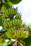 Frukt och Inflorescence av bananen Arkivfoto
