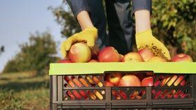Frukt-odlare som är nära upp med en skördad skörd lager videofilmer