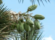 Frukt på en Joshua Tree arkivbilder