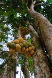 Frukt på ett träd Royaltyfri Foto