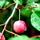 Frukt som fotograferas efter regn! royaltyfri foto