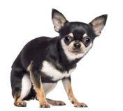Fruktansvärd Chihuahua, 1,5 gammala år, sammanträde Royaltyfria Bilder
