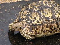 Fruktansvärd sköldpadda Arkivbilder