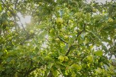 Fruktbart av gröna äpplen på träd i en lokal fruktträdgård i Gilgit Baltistan, Pakistan arkivfoton