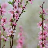 Fruktblomninggrupp av persikan på naturlig bakgrund i vår arkivfoto