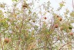 Frukten är mycket och fulla röda sidor arkivfoton