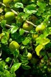 Frukten av det Apple trädet, äpplen växer på ett träd, gröna äpplen, den Apple skörden Royaltyfri Fotografi