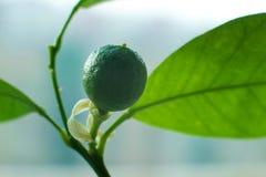 Frukten av mandarinen, bakterien av mandarinen, grön frukt, omogen mandarin, mognad Fotografering för Bildbyråer