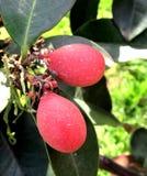 Frukter av acokantheraen Arkivfoto