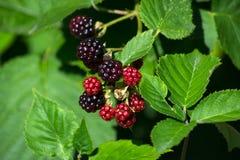 Frukter av björnbär Royaltyfri Bild