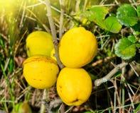 Frukter av de gula quincesna Royaltyfri Bild