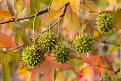 Frukter av den amerikanska sweetgumen Fotografering för Bildbyråer