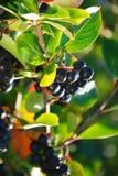 Frukter av den svarta chokeberryen (aroniaen) Royaltyfri Foto