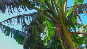 Frukter av en banan på ett träd mot en blå himmel stock video