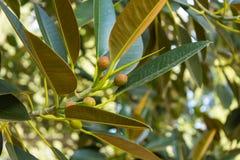 Frukter av fikus som växer på ett träd royaltyfri foto