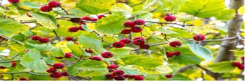 Frukter av hagtorn en taggigt buske eller träd av rosfamiljen, w arkivfoton