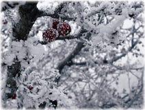 Frukter av hagtorn i is Arkivbild