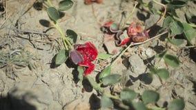 Frukter av hoppar omkring bristning stock video