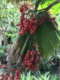 Frukter av Licuala grandis eller Palas gömma i handflatan Fotografering för Bildbyråer