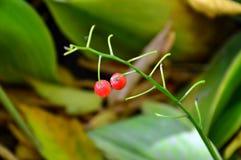 Frukter av liljekonvaljen I höstlat Convallariamajalis Royaltyfria Bilder