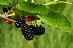 Frukter av mullbärsträdet Arkivfoto