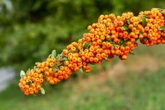Frukter av pyracanthacoccineaen Arkivfoto
