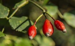 Frukter av rosa höfter i höst royaltyfria bilder