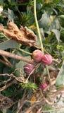 Frukter av shivpind Arkivbilder