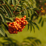 Frukter för bergaska Arkivfoton