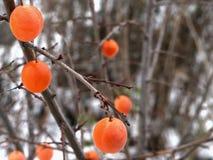 Frukter för körsbärsröd plommon hänger på filialerna arkivfoton
